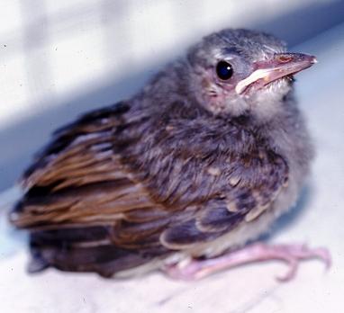 ヒヨドリの画像 p1_35